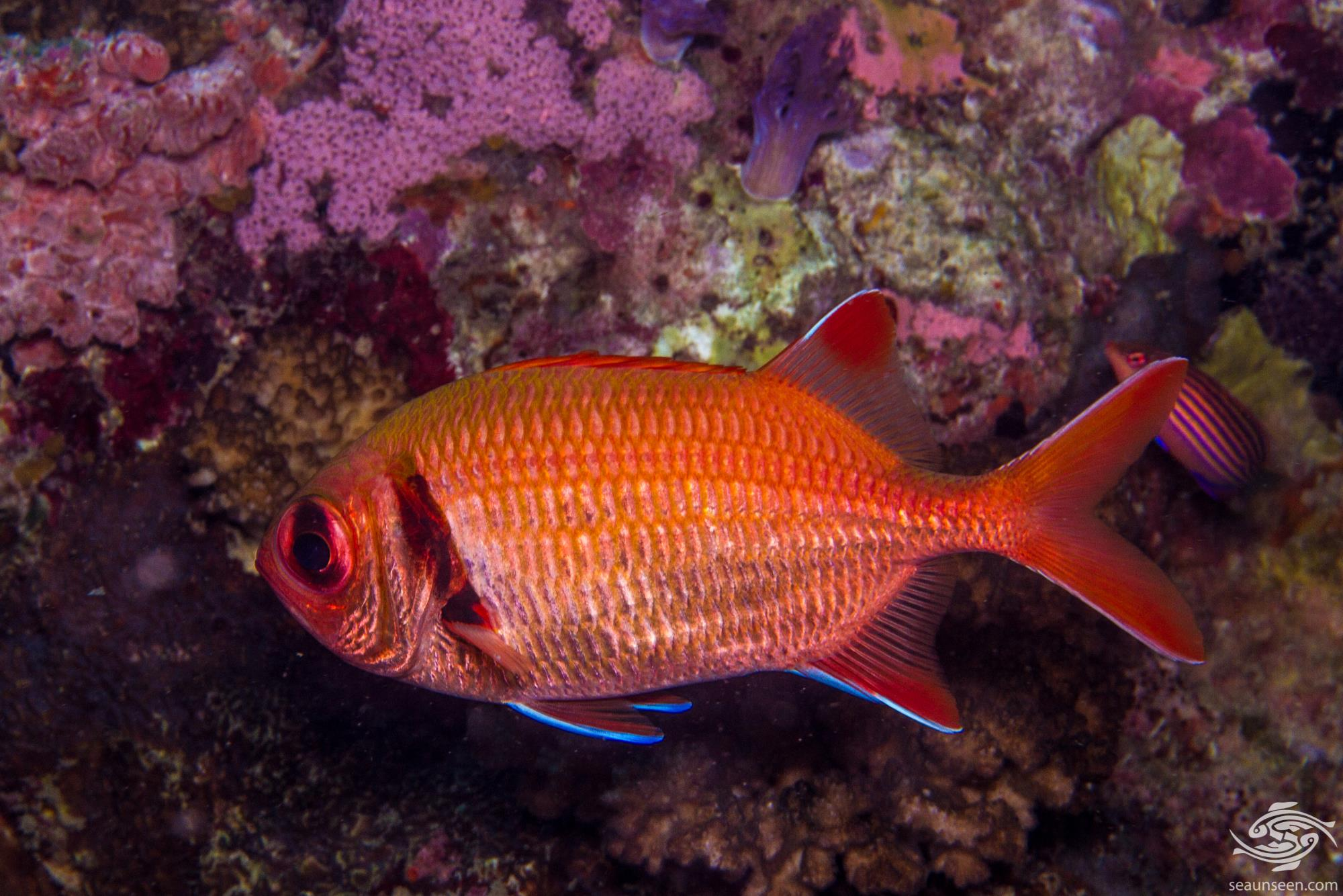 Epaulette Soldierfish (Myripristis kuntee) , is also known as the Shoulderbar Soldierfish, Kuntee Soldierfish and the Pearly Soldierfish