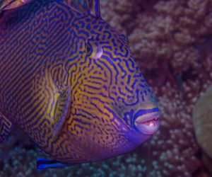 Rippled Triggerfish (Pseudobalistes fuscus) is also known as the Blue Triggerfish, the Blueline Triggerfish and the Yellowspotted Triggerfish.