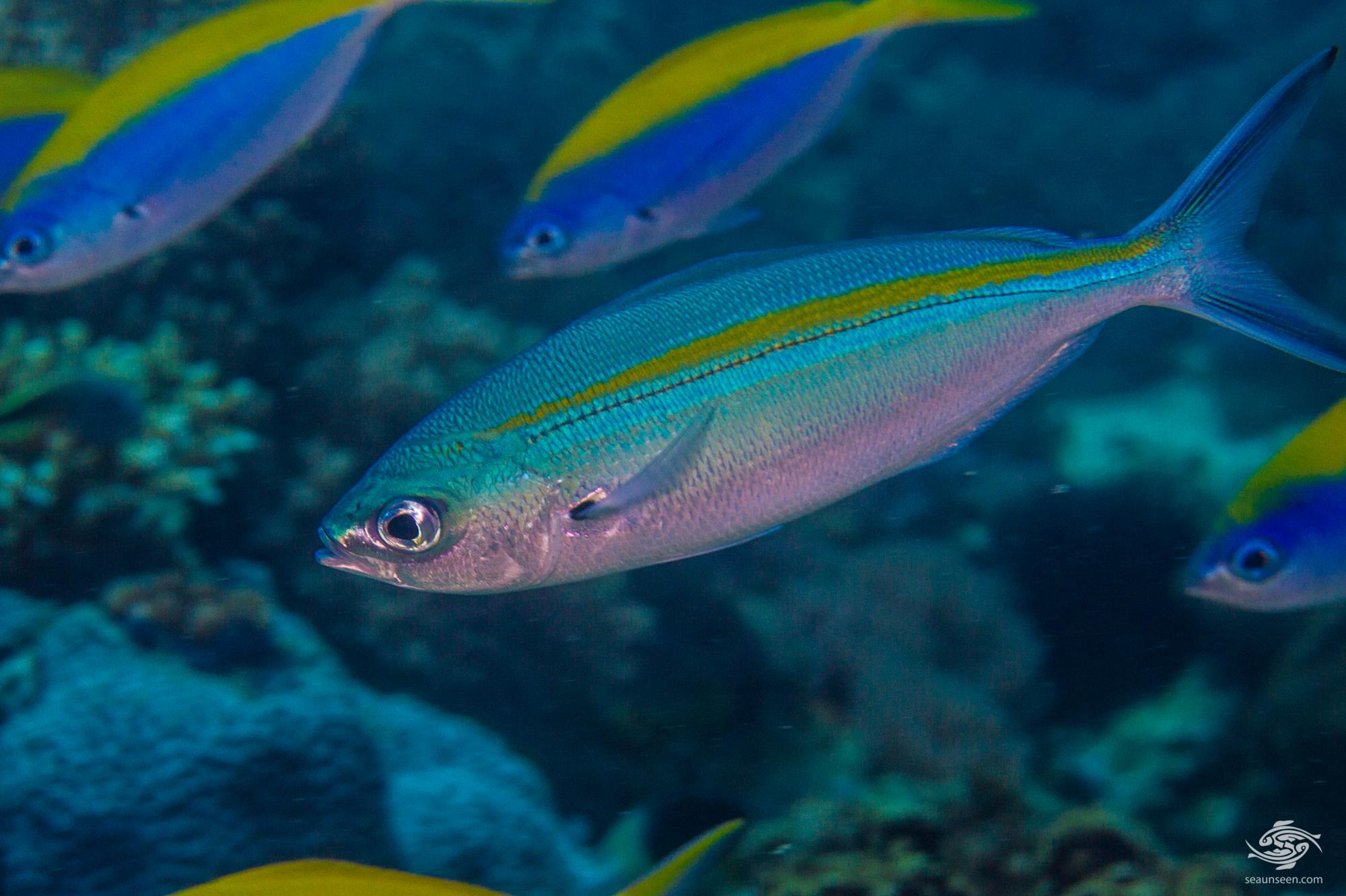 Blue and Gold Fusilier (Caesio caerulaurea) is also known as the Gold-striped Fusilier and the Scissor Tailed Fusilier