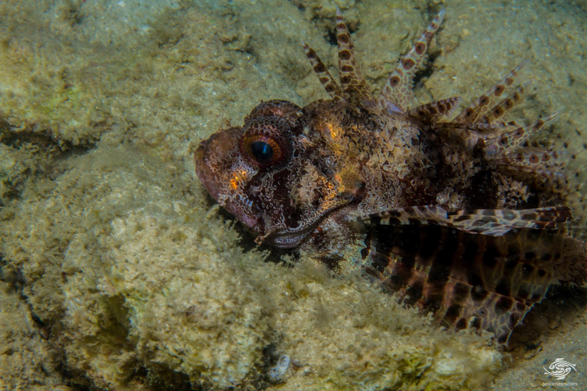 Fuzzy Dwarf Lionfish(Dendrochirus brachypterus) is also called the Shortfin Lionfish, the shortfin turkeyfish and the Dwarf Lionfish