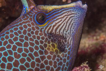 Honeycomb Filefish (Cantherhines pardalis) is also known as the Wirenet Filefish and the Honeycomb Leather- jacket.