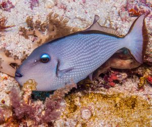 Gilded Triggerfish (Xanthichthys auromarginatus) is also known as the Blue Cheeked Triggerfish, the Blue Jaw Triggerfish and the Blue Throat Triggerfish