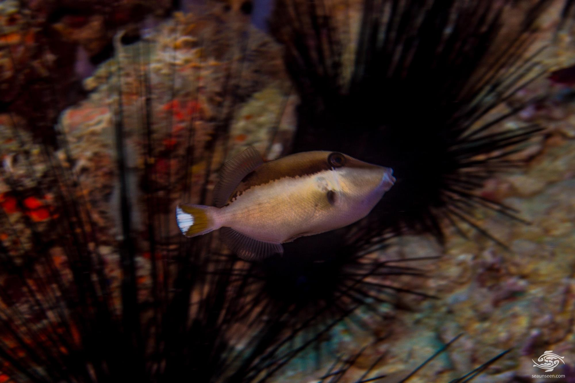 Juvenile Halfmoon triggerfish, Sufflamen chrysopterum
