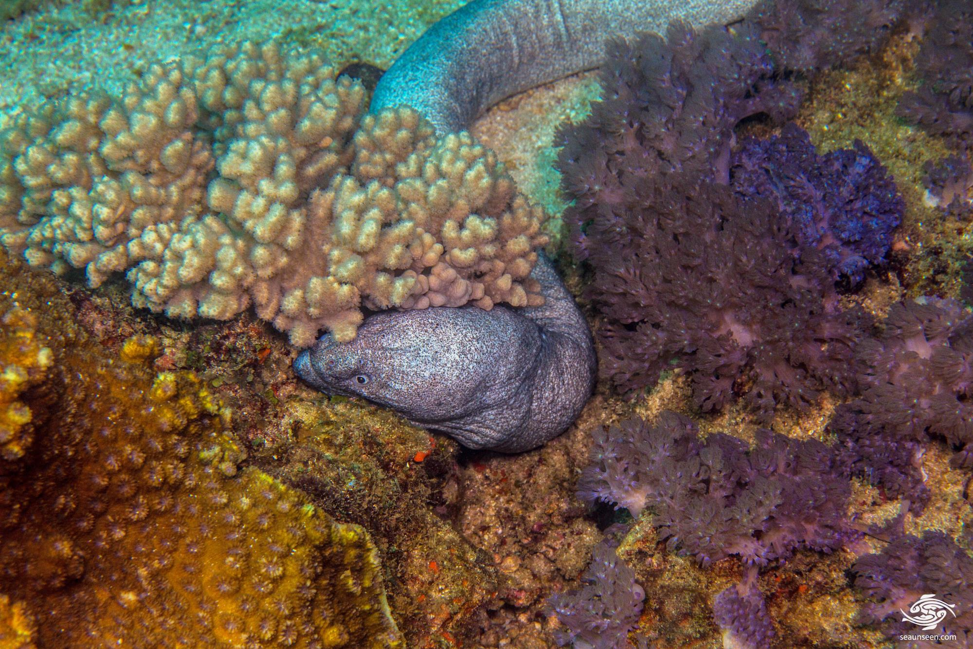 Granite Moray Eel (Uropterygius sp. ) appears to be an undescribed Moray Eel found on the Tanzanian mainland coast