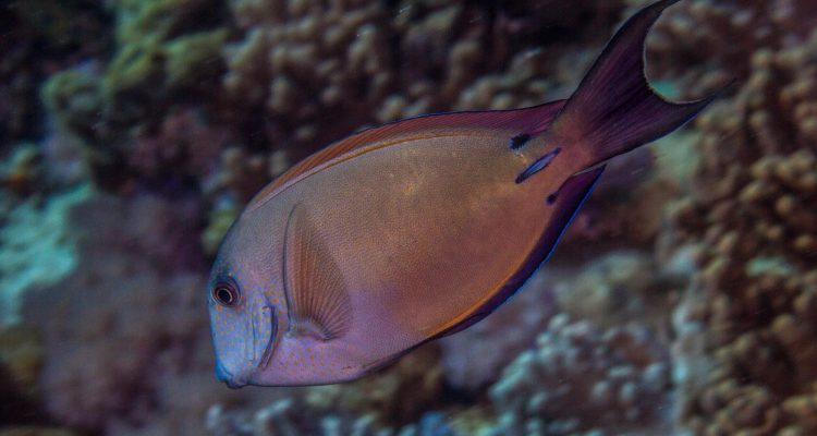 Brown Surgeonfish (Acanthurus nigrofuscus) is also known as the Blackspot Surgeonfish, Dusky Surgeonfish, Lavender Tang and Spot-cheeked Surgeonfish.