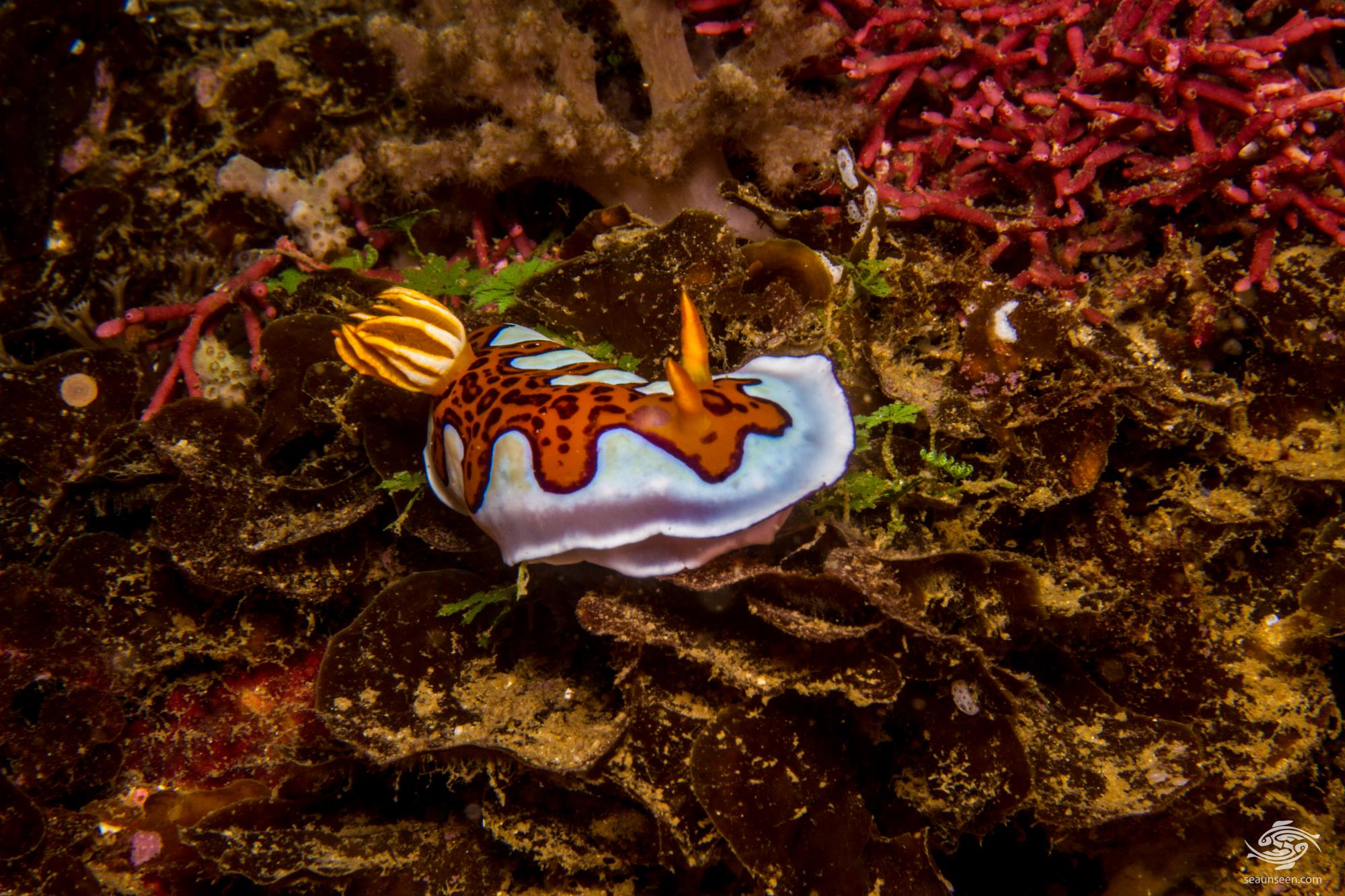 Goniobranchus gleniei, previously known as Chromodoris gleniei