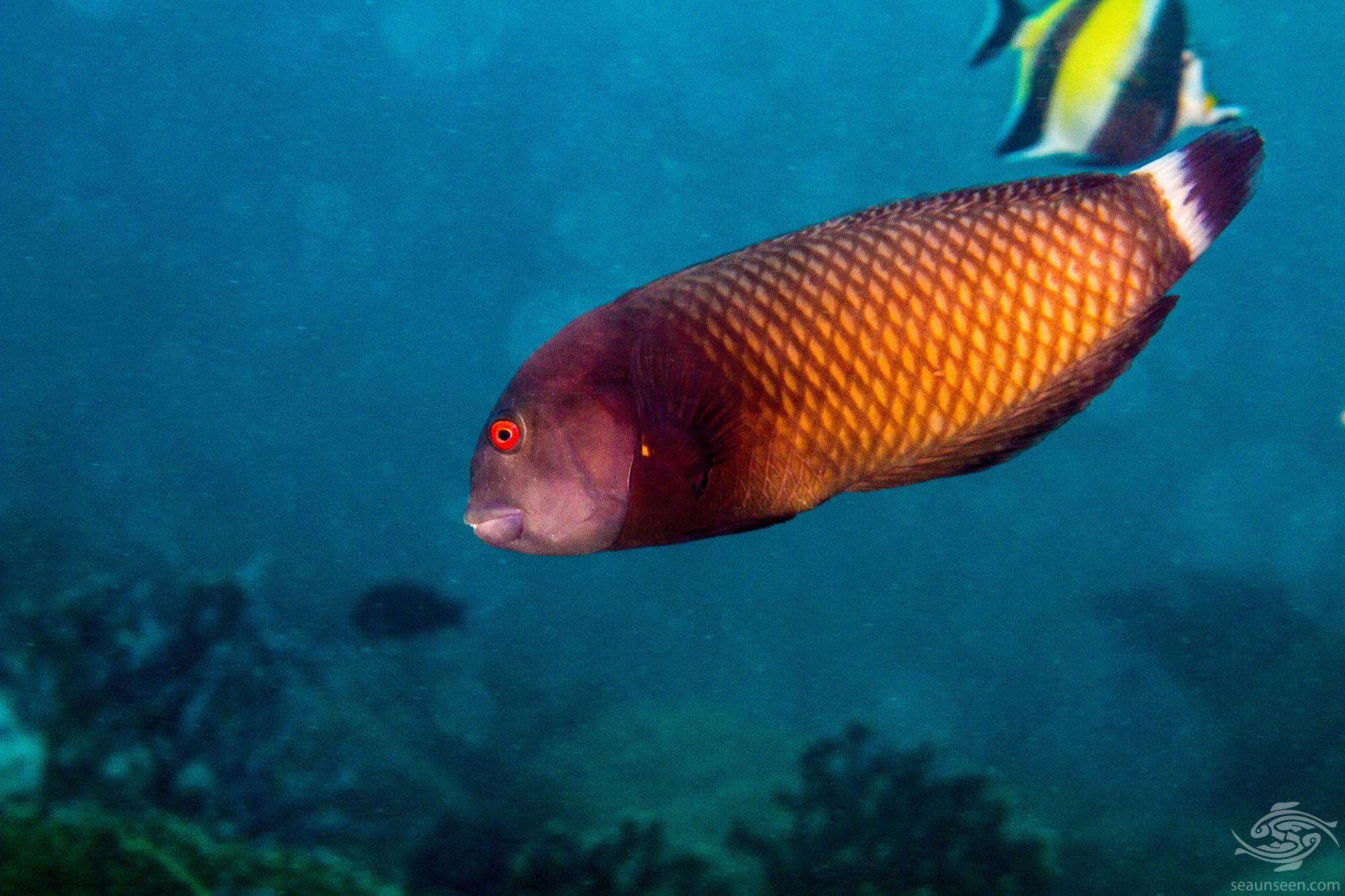 Rockmover Wrasse (Novaculichthys taeniourus) is also known as the Dragon Wrasse, Reindeer Wrasse
