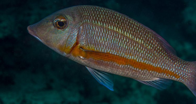 Orange-striped Emperor (Lethrinus obsoletus) is also known as the Yellow-banded Emperor and the Yellowstripe Emperor