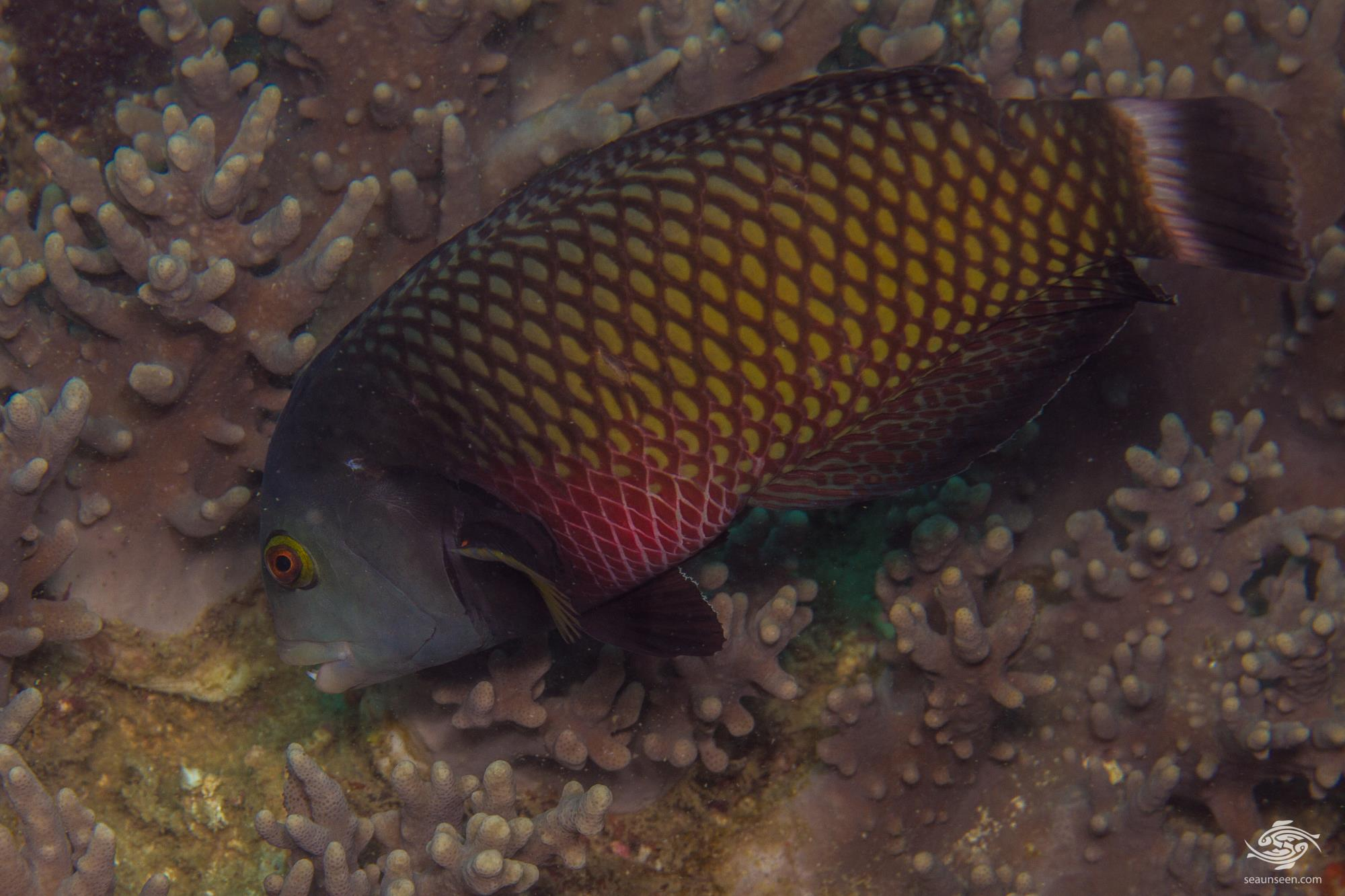 Adult Rockmover Wrasse (Novaculichthys taeniourus) is also known as the Dragon Wrasse, Reindeer Wrasse