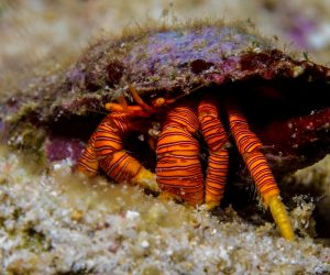 Halloween Hermit Crab (Ciliopagurus strigatus) is also known as Cone Shell Hermit Crab, the Striped Hermit Crab and the Orange Legged Hermit Crab