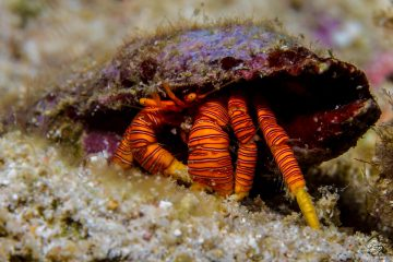 Halloween Hermit Crab (Ciliopagurus strigatus) is also known as Cone Shell Hermit Crab, the Striped Hermit Crab and the Orange Legged Hermit Crab