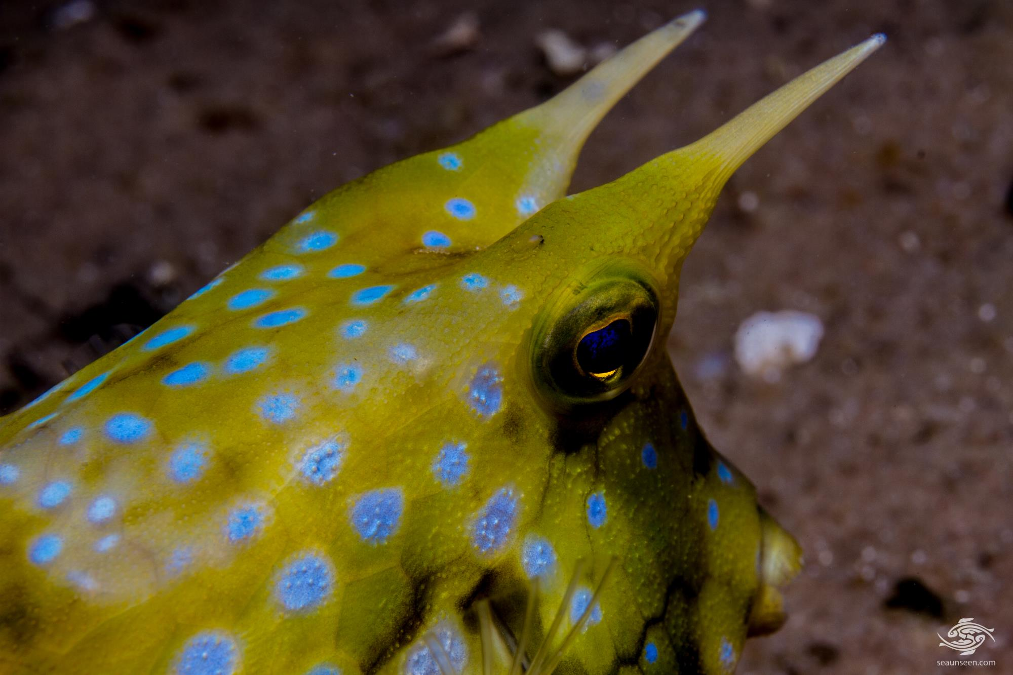 longhorn cowfish, Lactoria cornuta, also called the horned boxfish