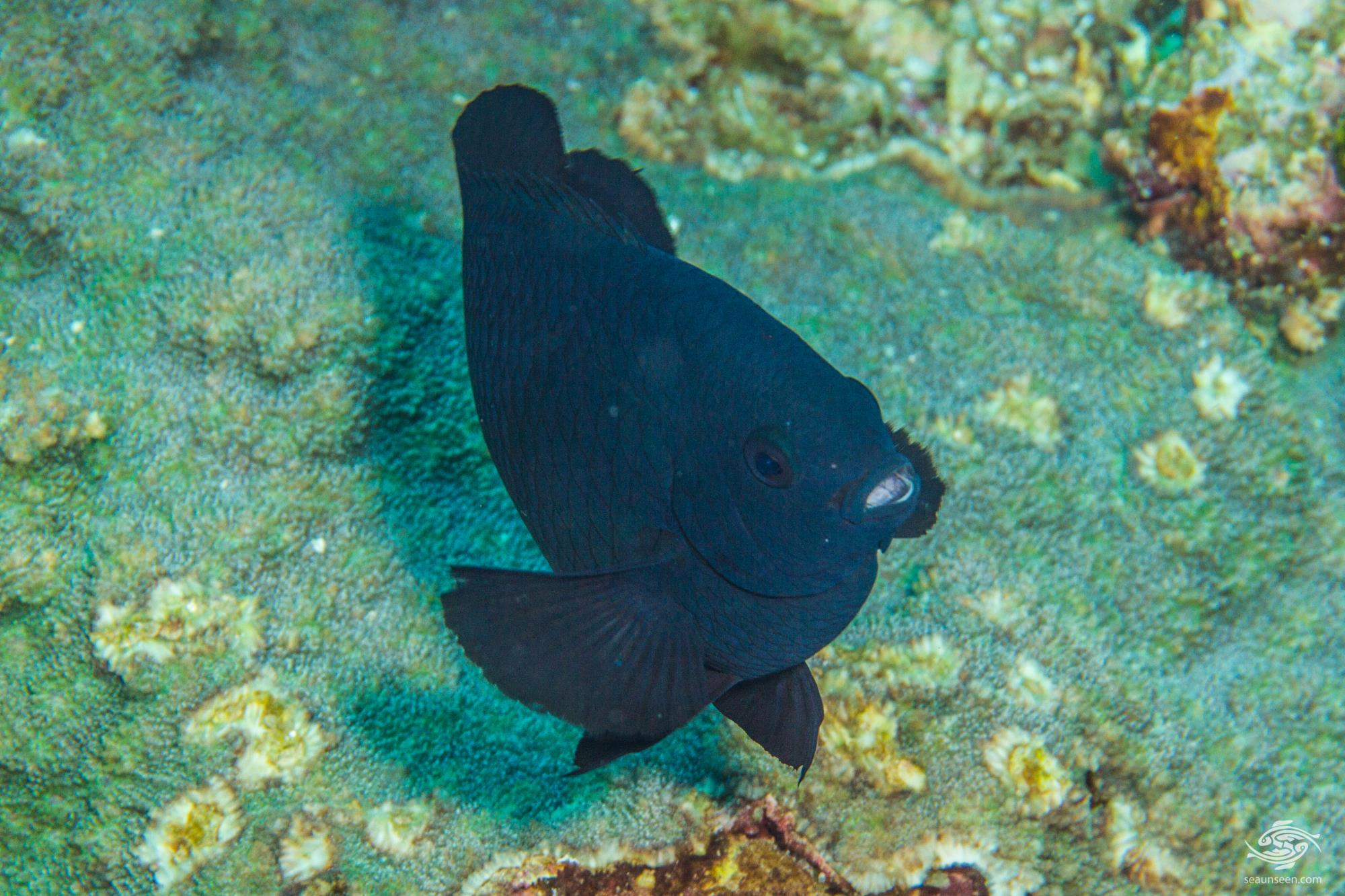 Black Damselfish ( Neoglyphidodon melas) is also known as the Bowtie Damselfish, the Bluefin Damselfish and in some areas as the Royal Damselfish