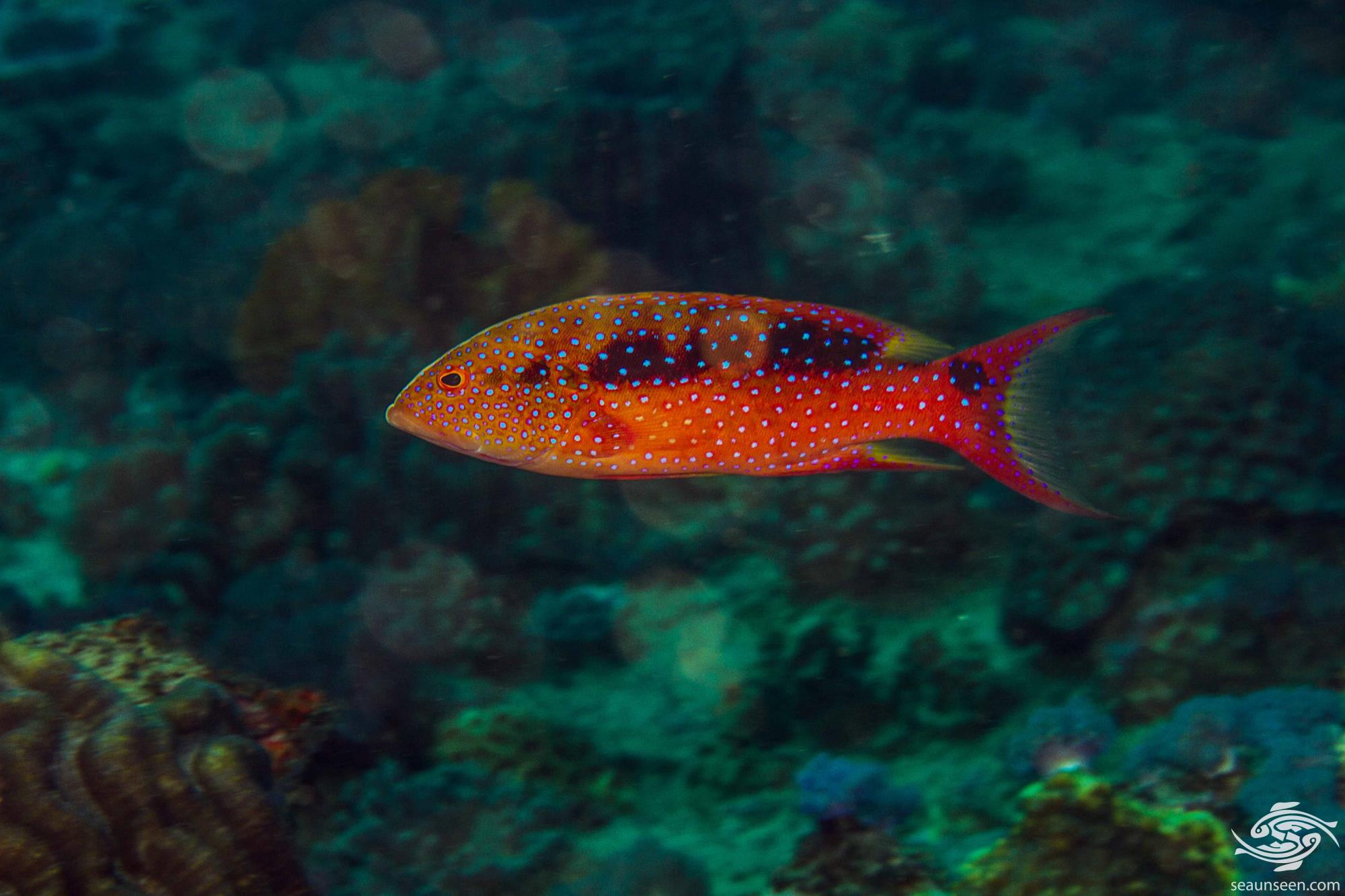 Mid size Yellow-edged Lyretail Grouper (Variola louti) is also known as the the Lyretail Grouper, Common Lyre-tail Cod, Lunar-tail Cod and Lunar-tailed Rock-cod