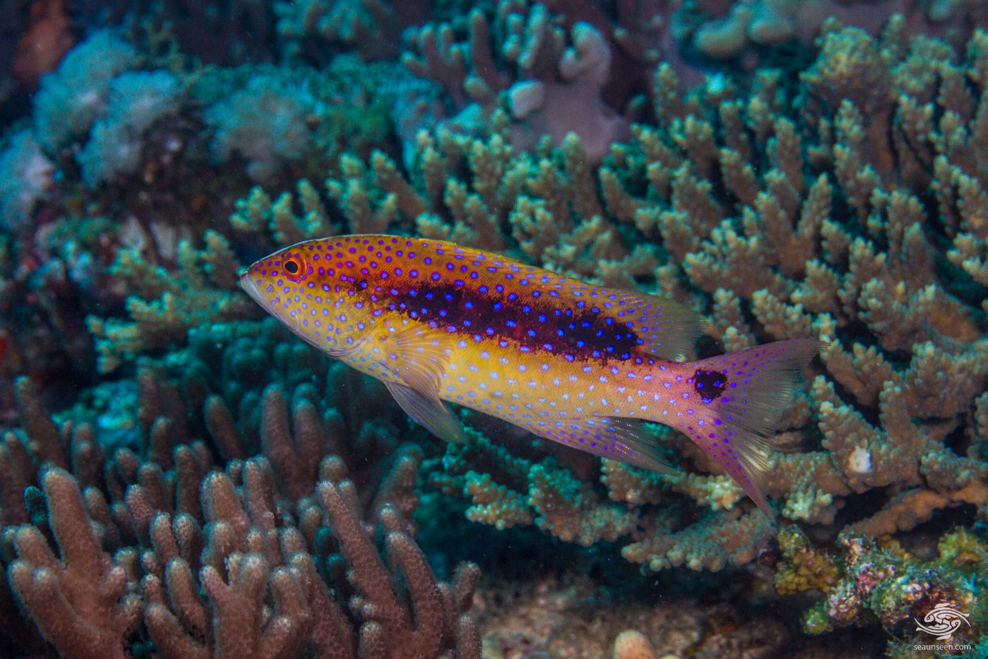 Juvenile Yellow-edged Lyretail Grouper (Variola louti) is also known as the the Lyretail Grouper, Common Lyre-tail Cod, Lunar-tail Cod and Lunar-tailed Rock-cod