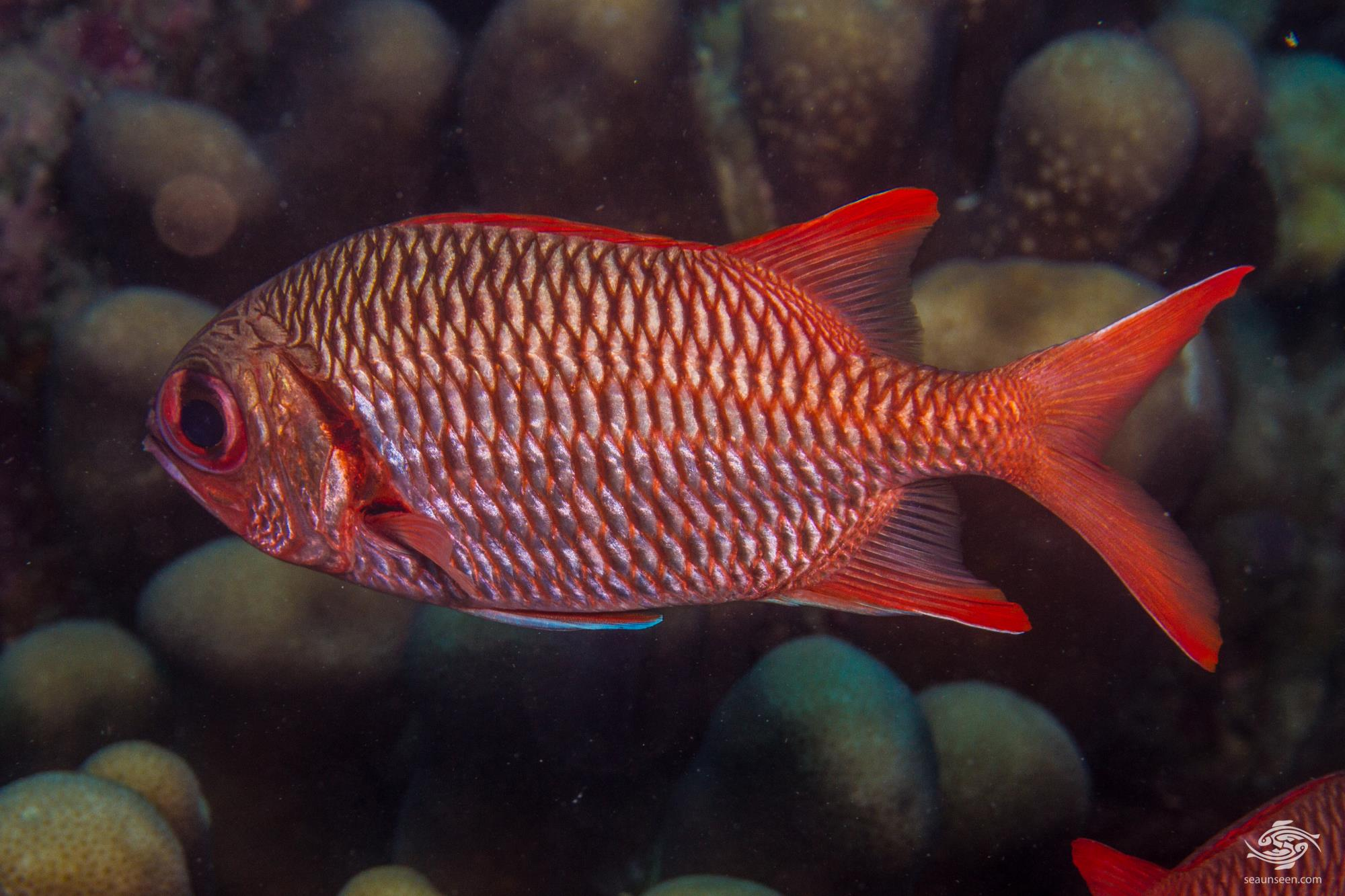 Doubletooth Soldierfish (Myripristis hexagona) is also known as the Blacktip Soldierfish, the Large-scale Soldierfish , the Pale Soldierfish and the Red-fin Squirrelfish
