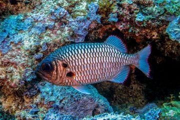 Shadowfin Soldierfish (Myripristis adusta) is also knowm as the Blackfin Soldierfish, Blue Squirrelfish, Bronze Soldierfish and One-spot Squirrelfish