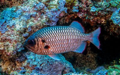 Shadowfin Soldierfish (Myripristis adusta) is also knowm as the Blackfin Soldierfish, Blue Squirrelfish, Bronze Soldierfish and One-spot Squirrelfish
