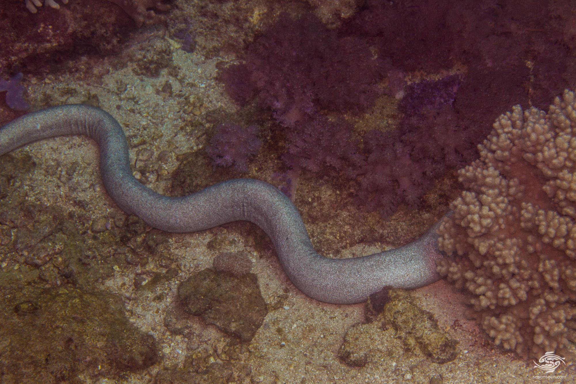 Uropterygius sp. 2