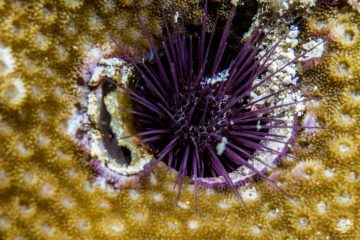 Burrowing Fine Spine Urchin (Echinostrephus molaris)