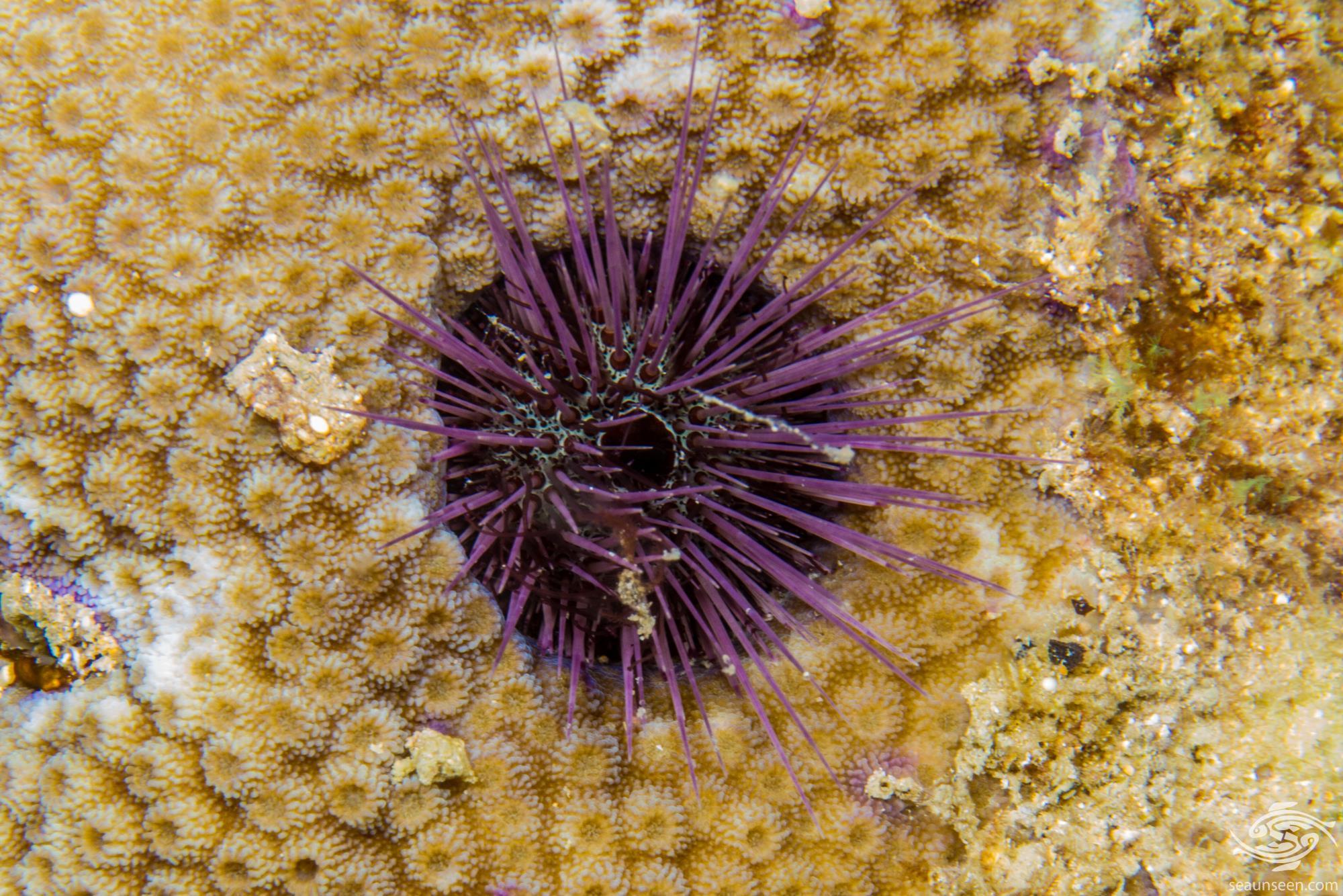 Burrowing Fine Spine Urchin (Echinostrephus molaris)