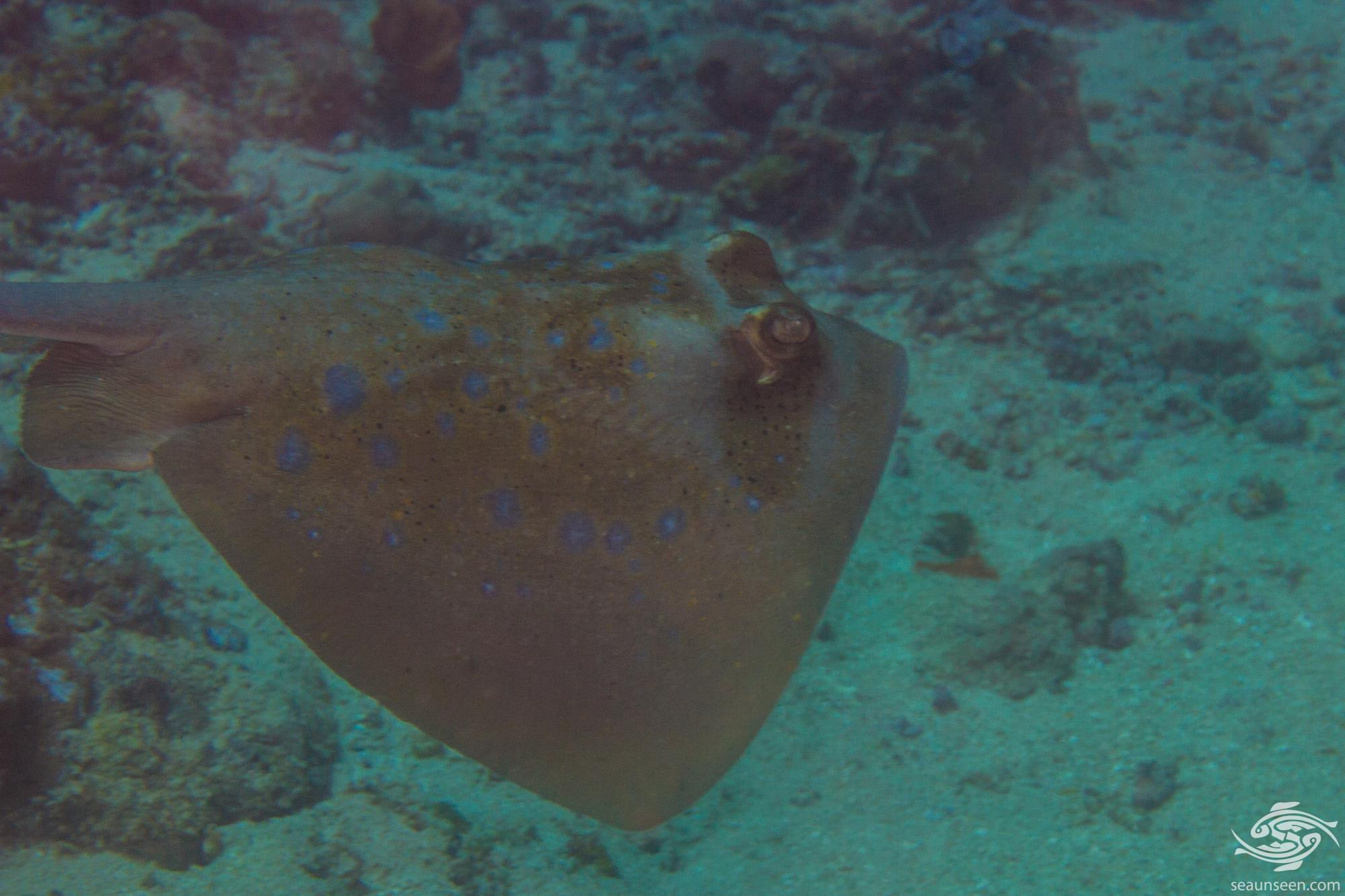 Indian Ocean Blue-spotted Stingray ( Neotrygon indica sp. nov) is also known as the Indian Ocean Bluespotted Maskray