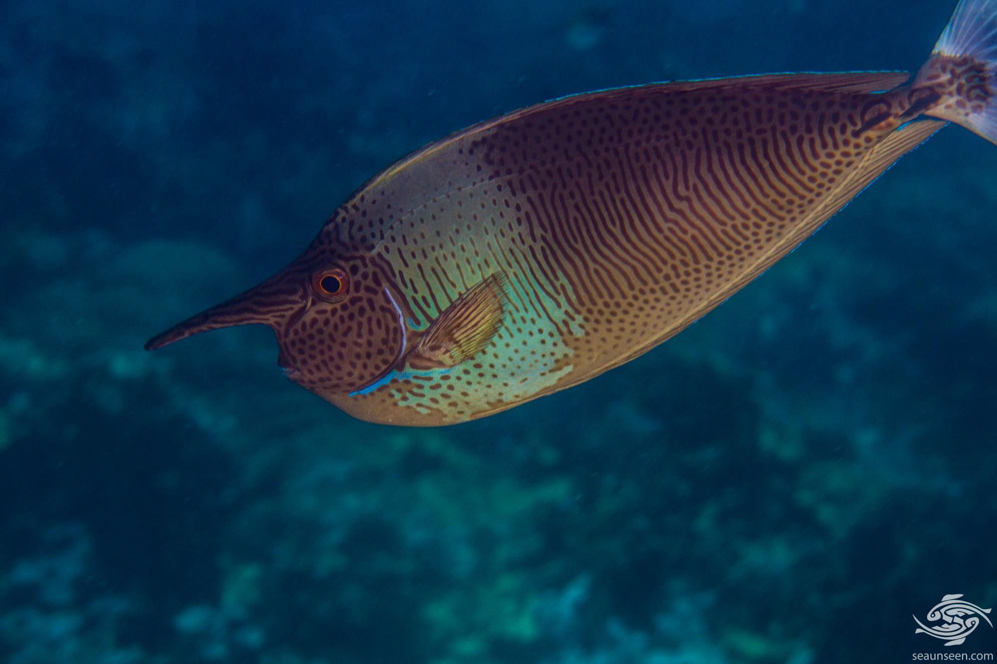 Palefin Unicornfish (Naso brevirostris) also known as the Shortnose Unicornfish, and the Spotted Unicornfish