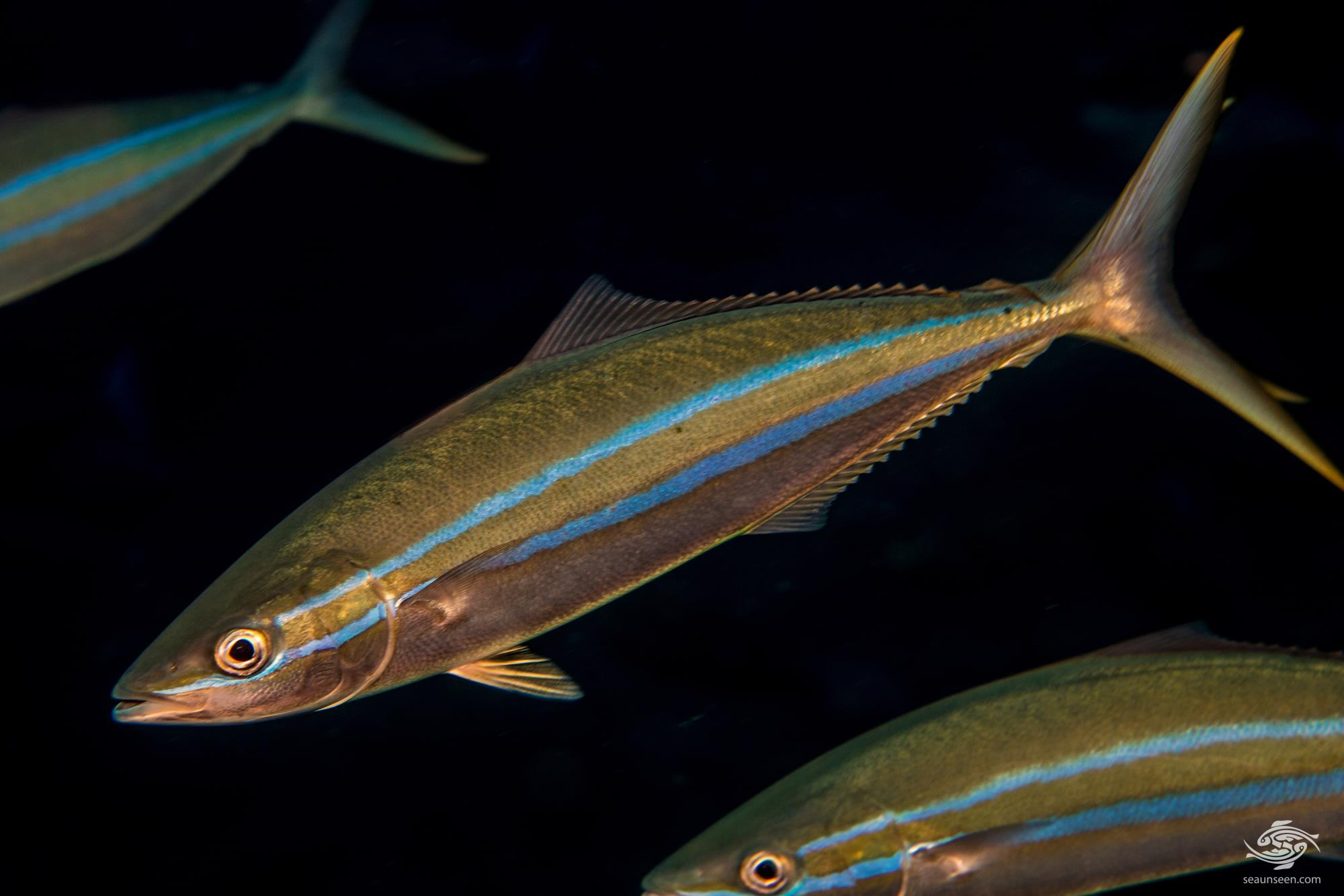 rainbow runner (Elagatis bipinnulata), also known as the Prodigal Son, Spanish jack and Hawaiian salmon