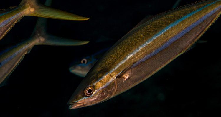 rainbow runner (Elagatis bipinnulata), also known as the Prodigal Son, Spanish jack and Hawaiian salmon