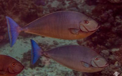 Sleek unicornfish (Naso hexacanthus) is also known as the Blacktongue unicornfish