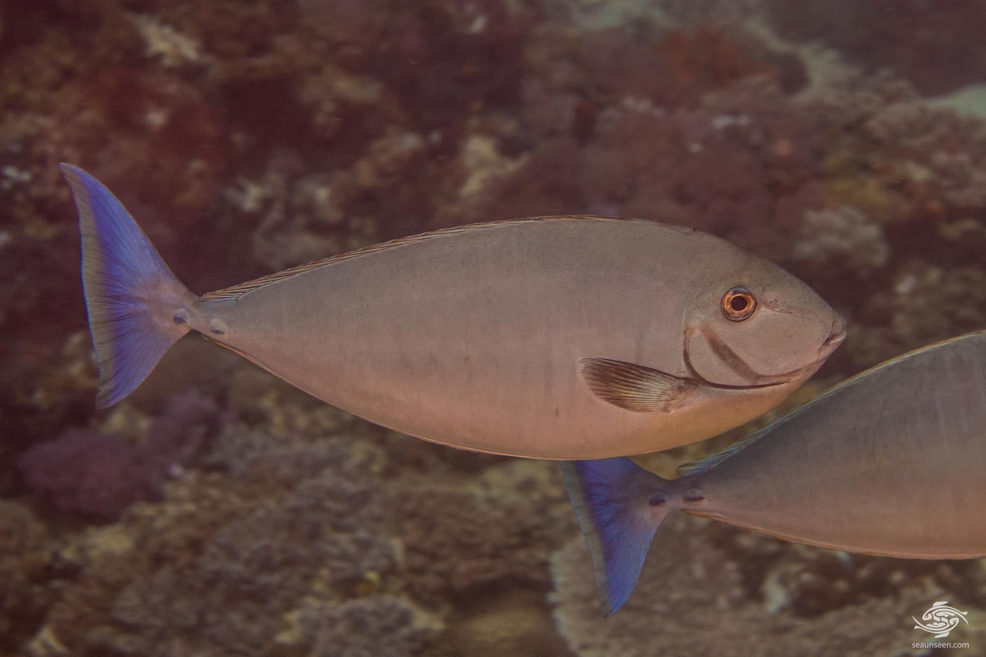Sleek unicornfish (Naso hexacanthus) is also known as the Blacktongue unicornfish