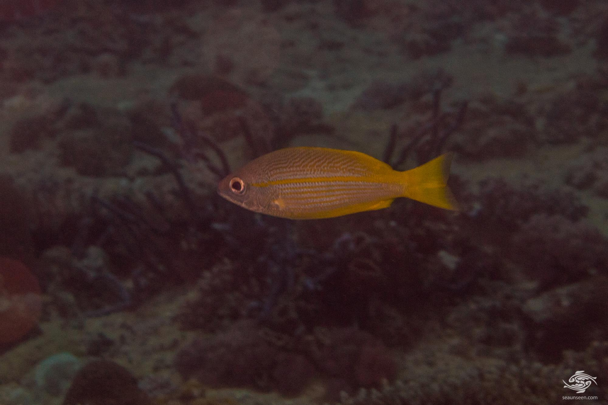 The Bigeye Snapper, Lutjanus lutjanus is also kmown as the Bigeye Seaperch, the Golden Striped Snapper, the Red Sea Lined Snapper,and the Yellow Snapper