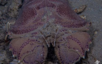 Flathead Slipper Lobster (Thenus Orientalis)