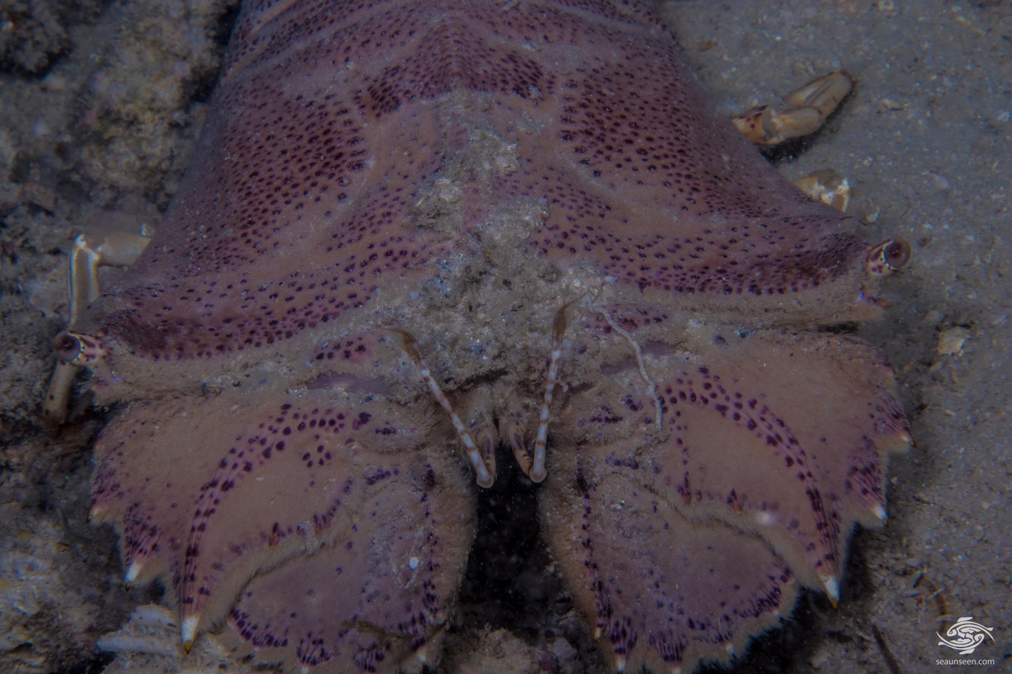 Flathead Slipper Lobster (Thenus Orientalis)
