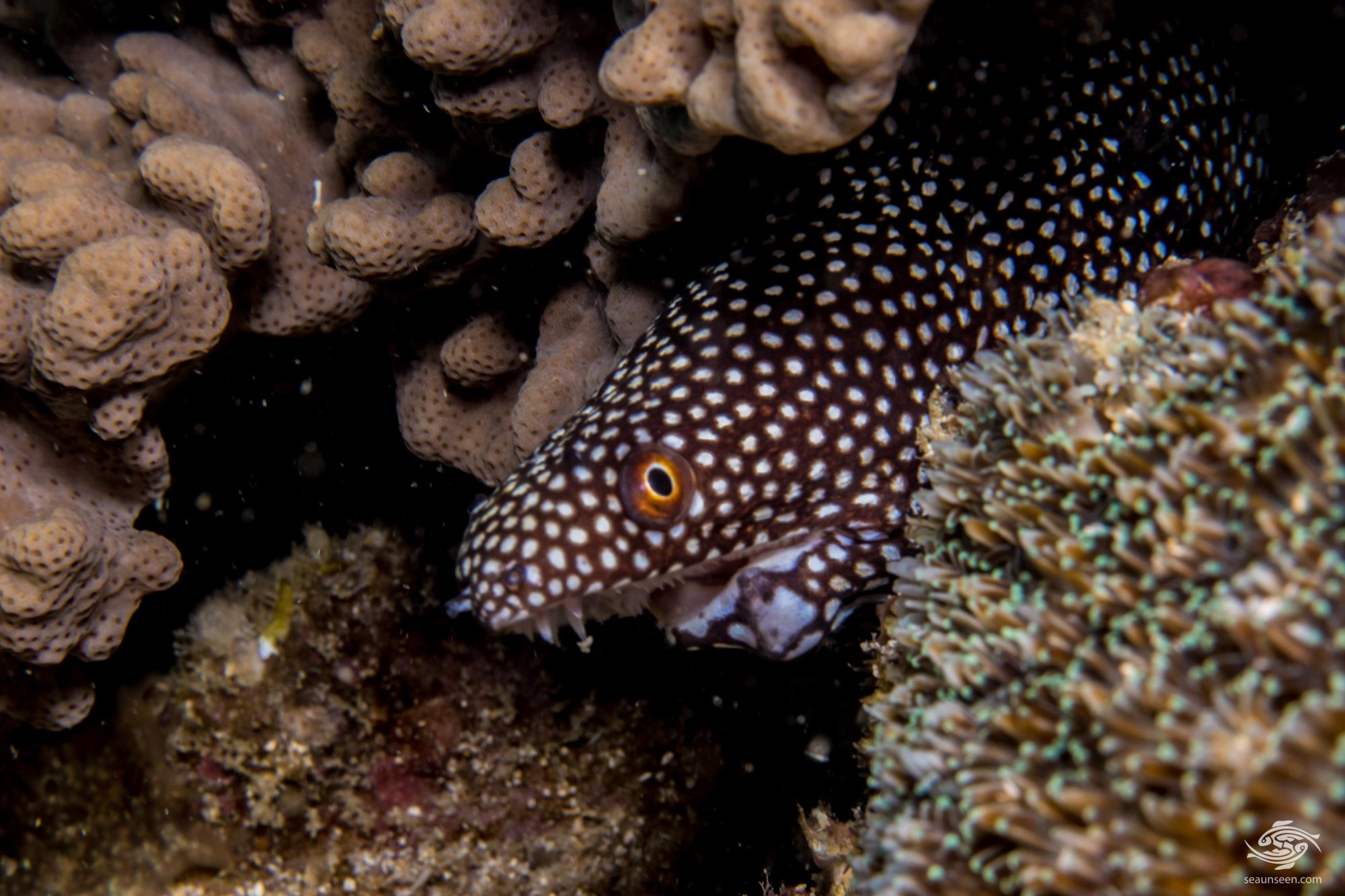 injured White-Mouth Moray eel (Gymnothorax Meleagris)