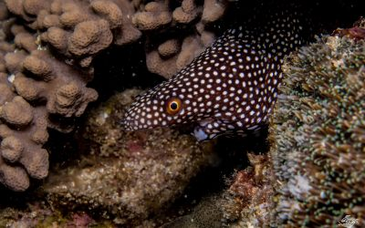 White-Mouth Moray eel (Gymnothorax Meleagris)