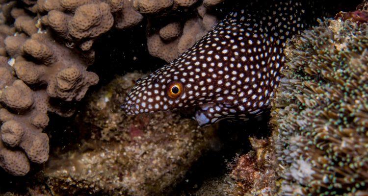 White-Mouth Moray eel (Gymnothorax Meleagris)