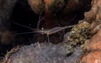 Unicorn Shrimp in the genus Plesionika