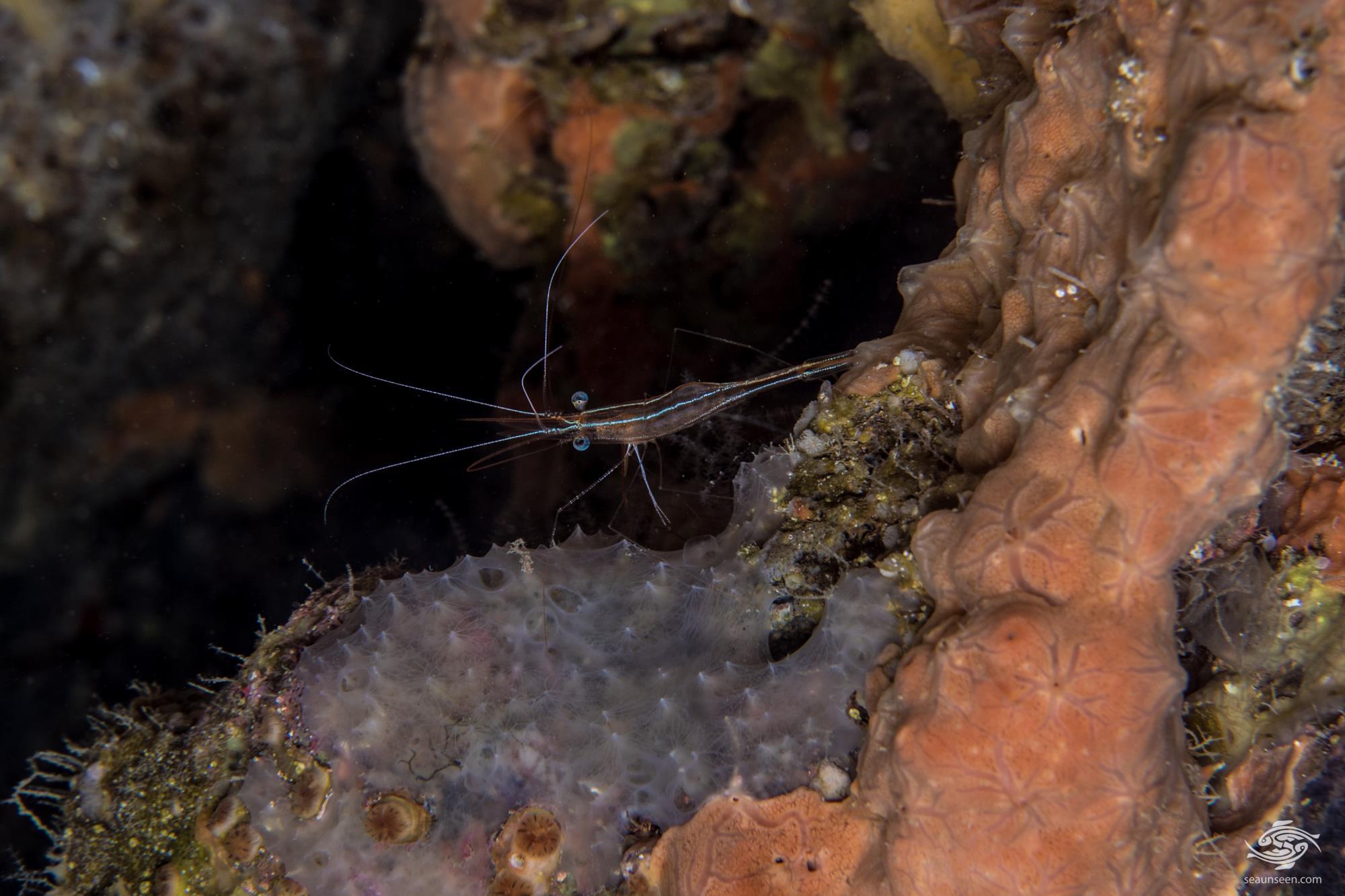Unicorn Shrimp in the genus Plesionika