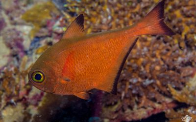 Yelloweye Sweeper (Pempheris flavicycla)