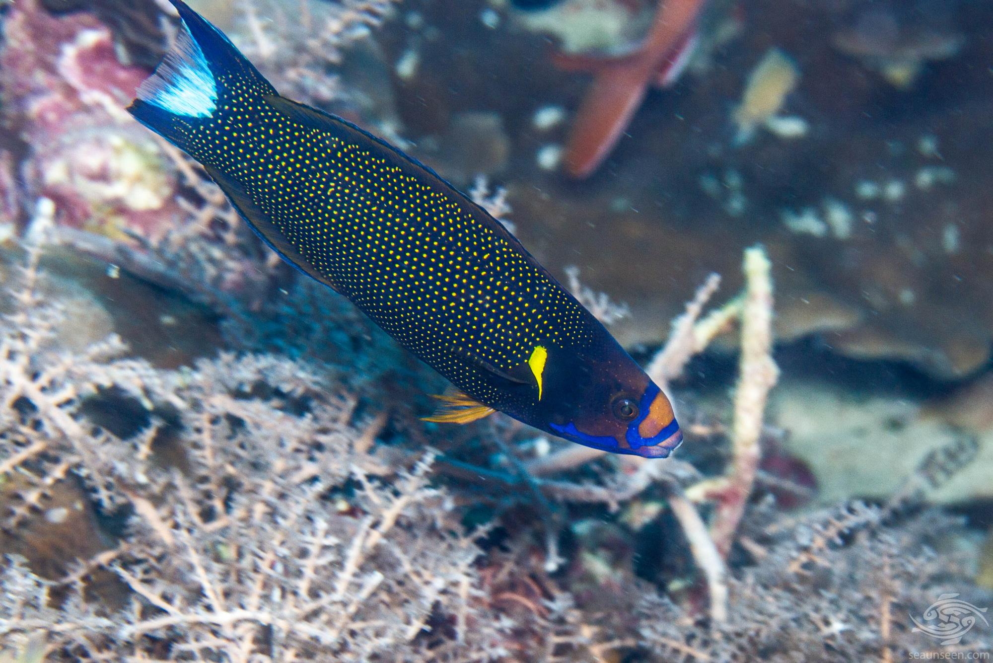 Yellowback Tubelip wrasse (Labropsis xanthonota) also known as the Wedge-tailed wrasse, Blacklobe wrasse and V-tail wrasse