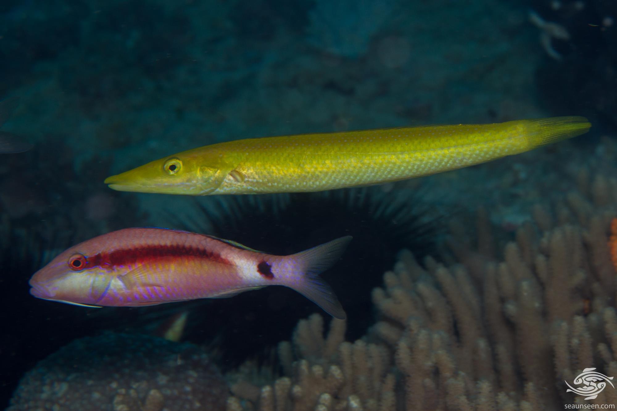 Cigar wrasse (Cheilio inermis) is also known as the Sharp-nosed Rainbowfish, Pêche madame, Julia Larguirucha and Kamasubera