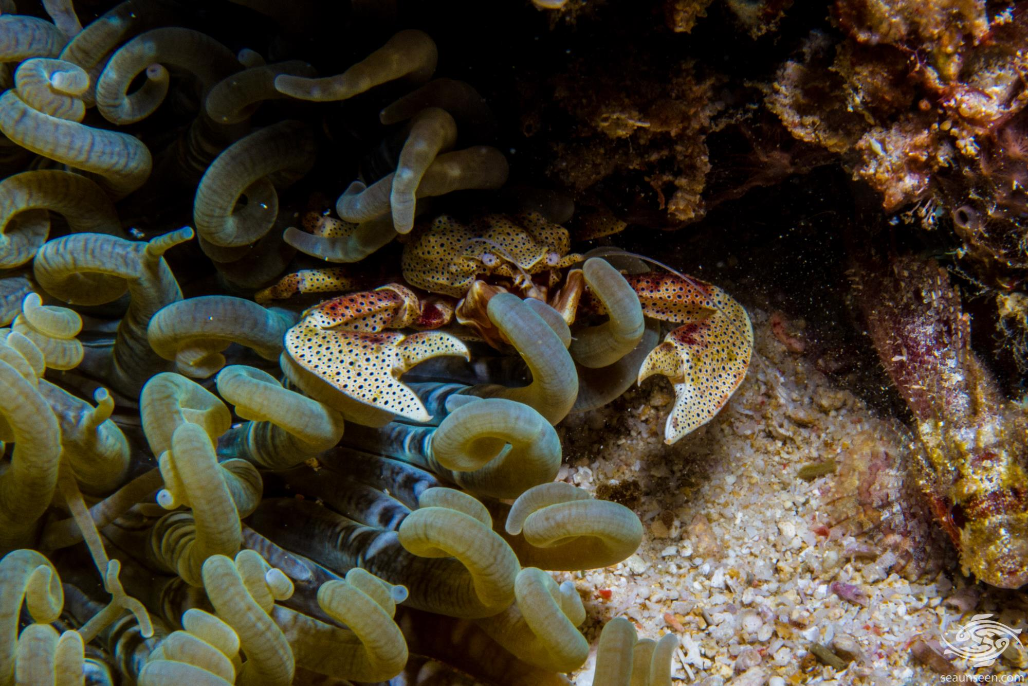 Yellow Porcelain Anemone Crab, Neopetrolisthes alobatus