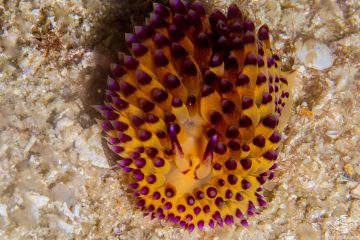 Janolus savinkini common name Purple-tipped janolus