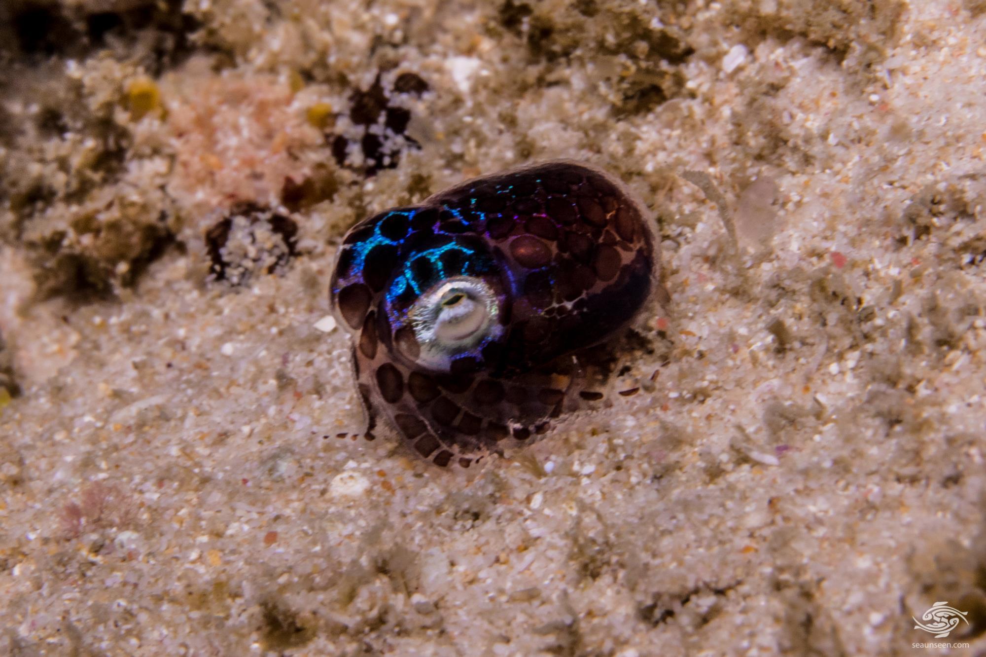 Bobtail squid also known as Pigmy Squid