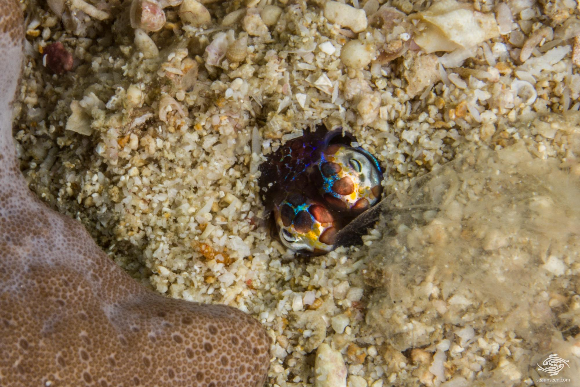 Bobtail squid also known as Pigmy Squid