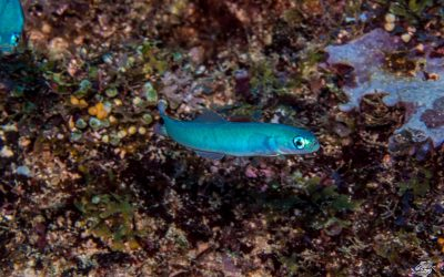 Spot Tail Dartfish, Ptereleotris heteroptera, is also known as the Blacktail Dartfish, Indigo Dartfish and Blacktail Goby.
