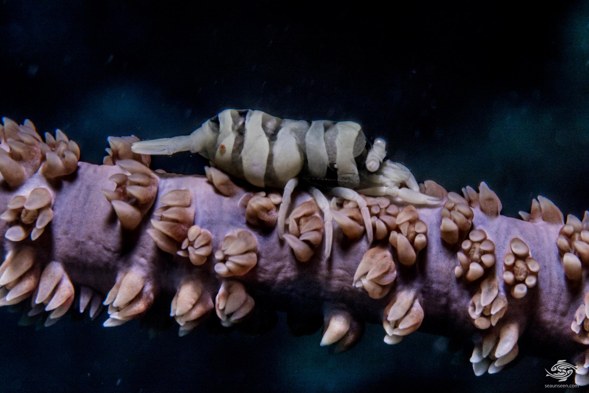 Anker's Whip Coral Shrimp (Pontonides ankeri)