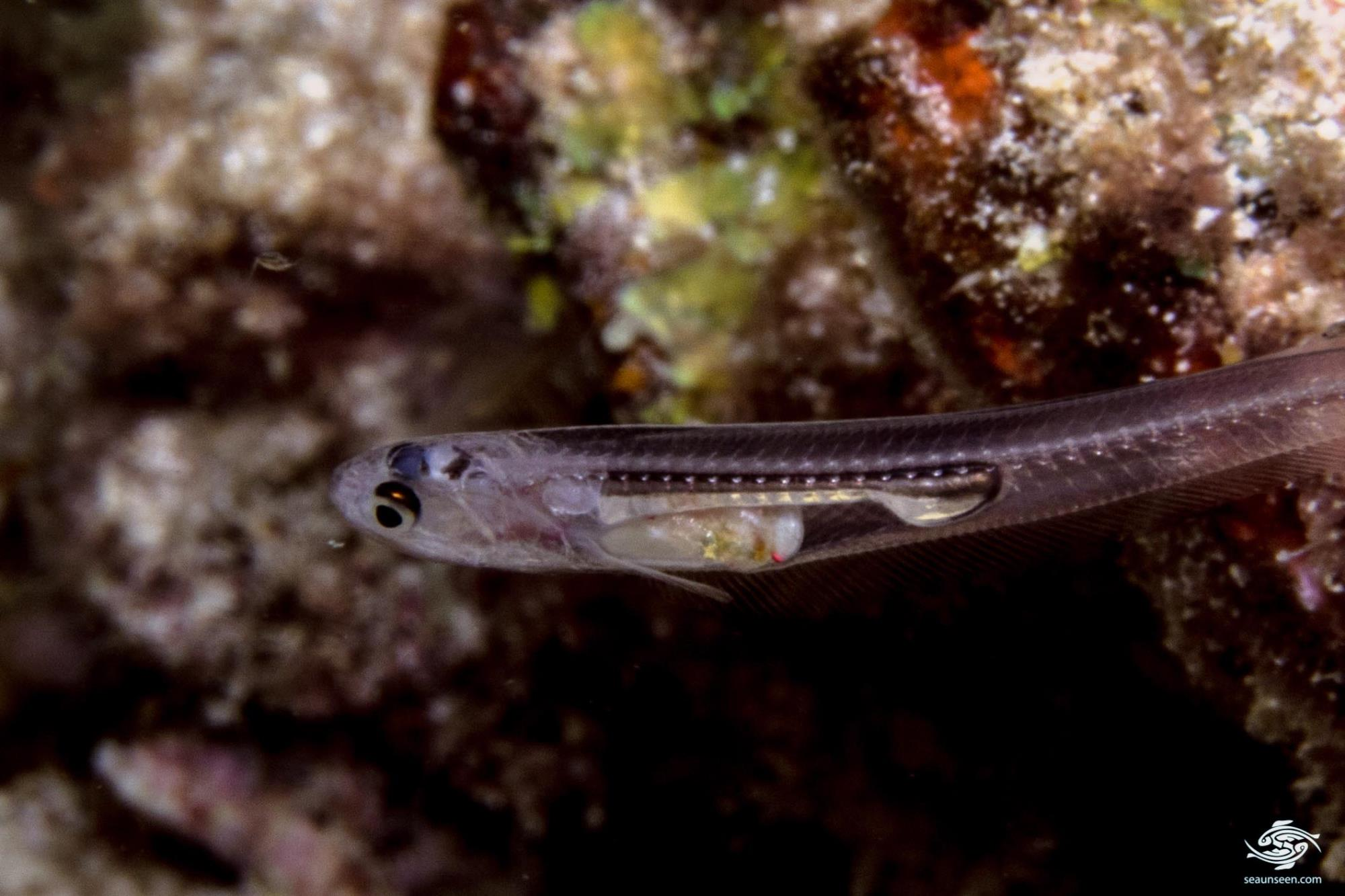 silver pearlfish, Encheliophis homei