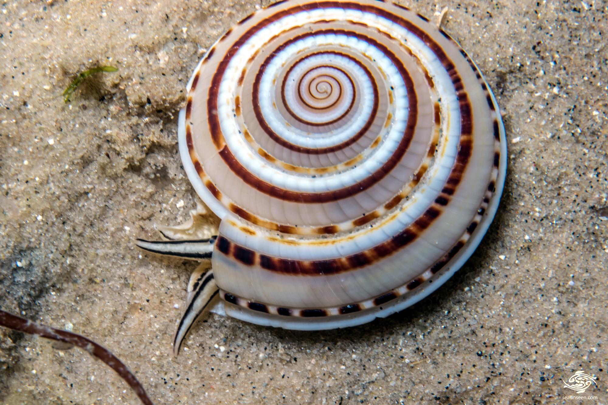 Sundial shell (Architectonica perspectiva)